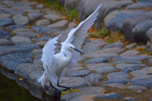 チュウサギ@湘南・鵠沼海岸 #湘南 #藤沢 #海 #波 #wave #surfing #mysky #beach #bird #animal #鳥