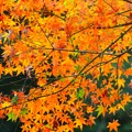 明月院の紅葉 #mysky #湘南 #kamakura #鎌倉 #temple #寺 #紅葉 #autumnleaves