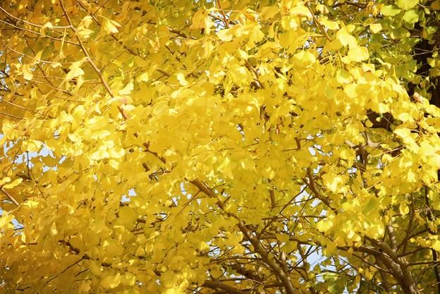 銀杏の黄葉 #mysky #湘南 #kamakura #鎌倉 #temple #寺 #紅葉 #autumnleaves