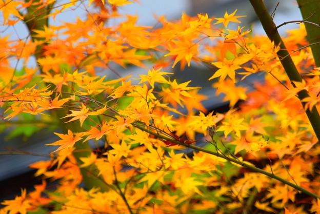 見ごろの明月院の紅葉  #mysky #湘南 #kamakura #鎌倉 #temple #寺 #紅葉 #autumnleaves