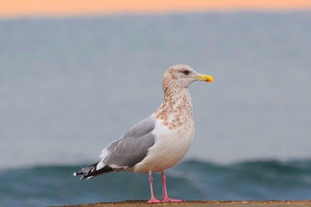 佇むカモメ@湘南・鵠沼海岸 #湘南 #藤沢 #海 #波 #wave #surfing #mysky #bird #animal #鳥
