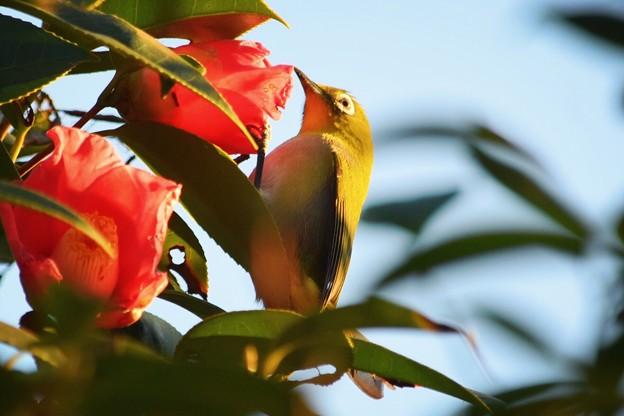 椿の花を啄むメジロ #湘南 #藤沢 #海 #波 #wave #surfing #mysky #animal #bird #鳥