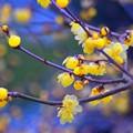 素心蝋梅@浄智寺 #湘南 #kamakura #鎌倉 #temple #寺 #mysky #花 #flower