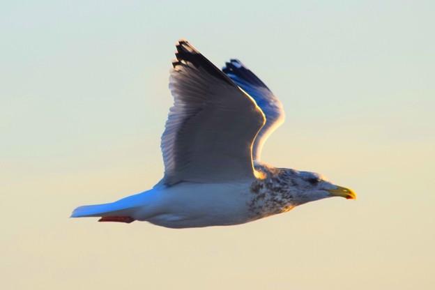 飛翔するカモメ@湘南・鵠沼海岸 #湘南 #藤沢 #海 #波 #wave #surfing #mysky #鳥 #animai #bird
