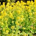菜の花 #湘南 #kamakura #鎌倉 #shonan #flower #花 #mysky #菜の花