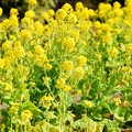 Photos: 菜の花 #湘南 #kamakura #鎌倉 #shonan #flower #花 #mysky #菜の花