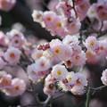 Photos: ピンクの梅 #湘南 #kamakura #鎌倉 #shonan #flower #花 #mysky #梅