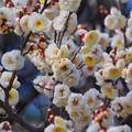 Photos: 白梅 #湘南 #kamakura #鎌倉 #shonan #flower #花 #mysky #梅