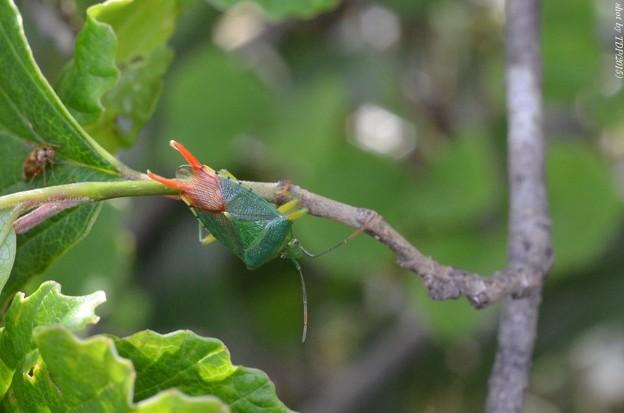 ヒメハサミツノカメムシ
