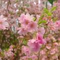写真: 2月の桜