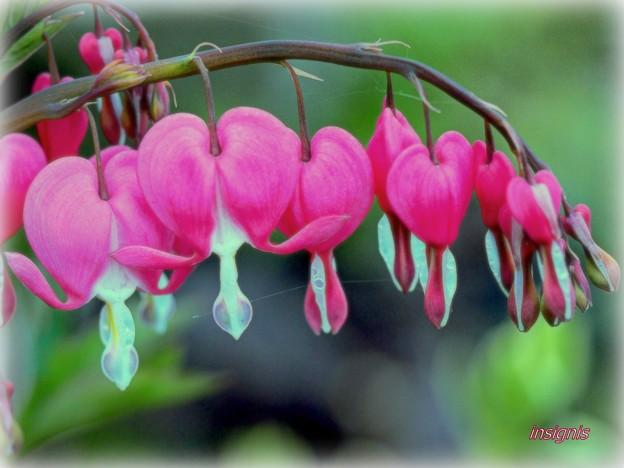 Bleeding Heart.......
