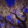 写真: 惜春の夜の夢.......