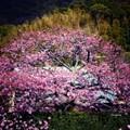 かじやの桜.......