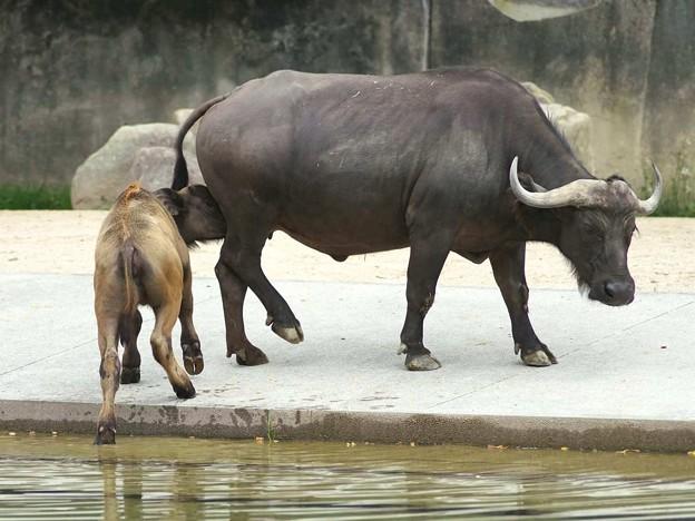 ミルクが飲みたいコサックちゃん、立ち止まってくれないハルカ母さんをストーカー。@安佐アフリカスイギュウ舎