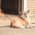 Photos: 香取神宮参道の犬