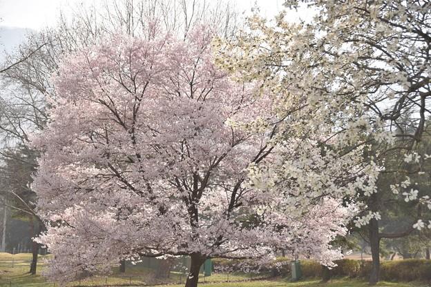 伊香保グリーン牧場の桜