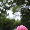 八景島の紫陽花