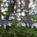 Photos: 八景島の紫陽花