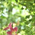 写真: ところざわのゆり園