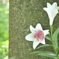 Photos: ところざわのゆり園