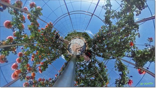 バラのドーム(ジャックと豆の木風)