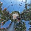 写真: バラのドーム(ジャックと豆の木風)