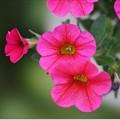 写真: 庭のカリブラコア