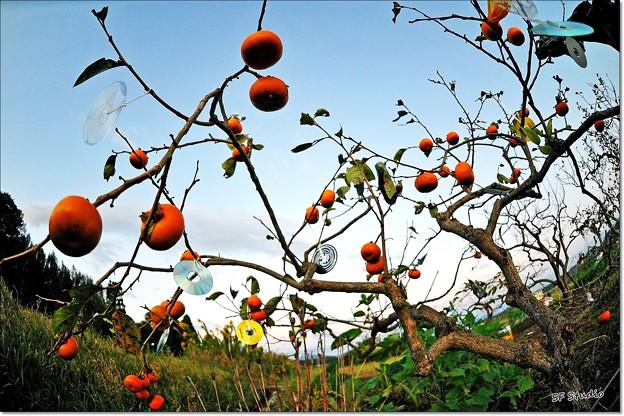 柿の木ジュークボックス