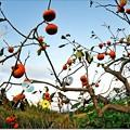 写真: 柿の木ジュークボックス