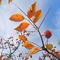 写真: 柿