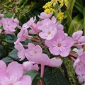 写真: におい桜