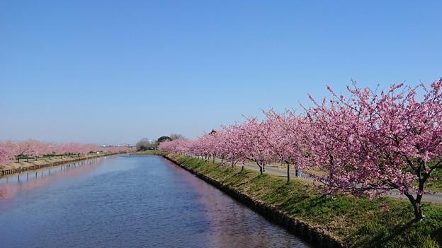 写真: 農業水路の河津桜