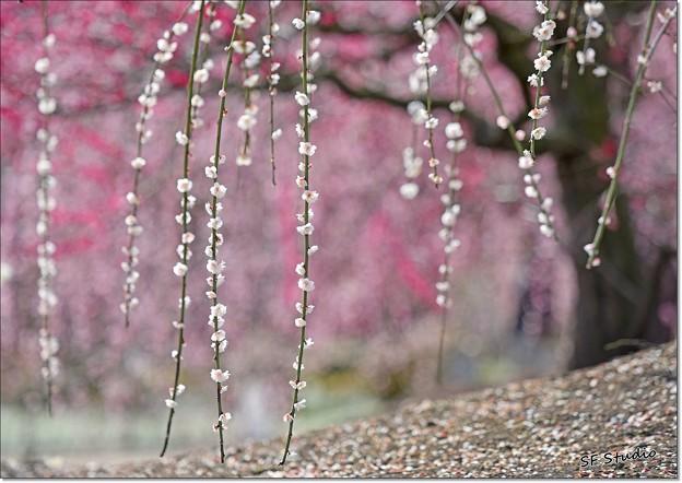 Photos: 紅白しだれ梅