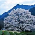 竹原の淡墨桜