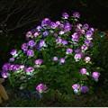 Photos: 紫陽花のイルミ 1