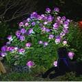 紫陽花のイルミ 2