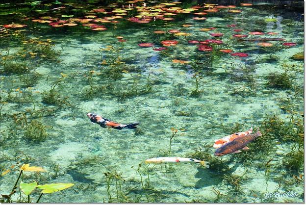 """Photos: 清水の """"モネの池"""""""