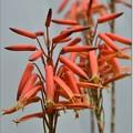 Photos: アロエの花