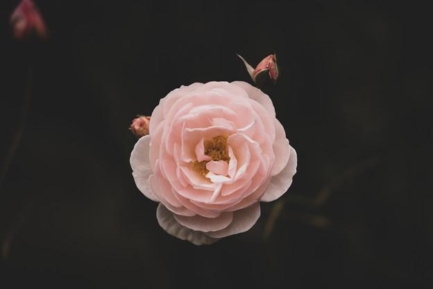 写真: バラ1