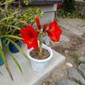 写真: アマリリスの花-02