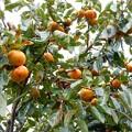柿が豊作-02
