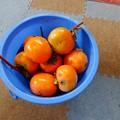柿が豊作-04