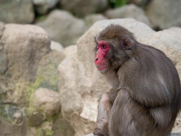 高崎山 真っ赤な顔のお猿さん
