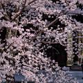 Photos: 花見