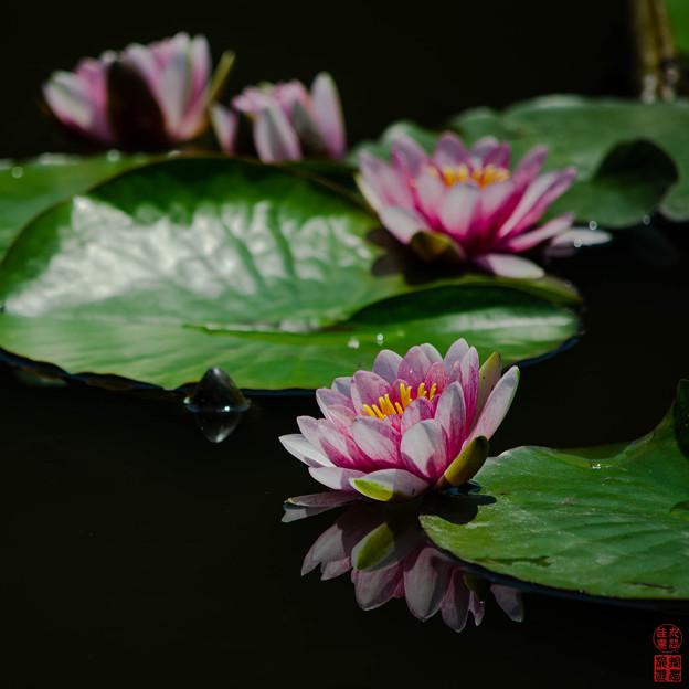 「睡蓮」 - 勧修寺 京都 -