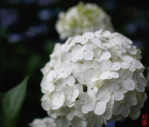 「白」 - 三室戸寺 京都 -