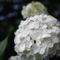 Photos: 「白」 - 三室戸寺 京都 -