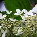 Photos: 紫陽花ではありません。2
