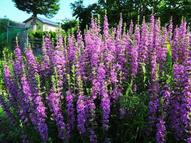 休耕地の花