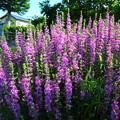 Photos: 休耕地の花